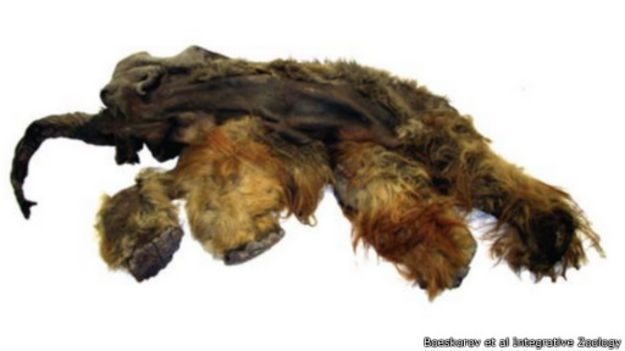 mummified_animals_from_the_ice_age_512